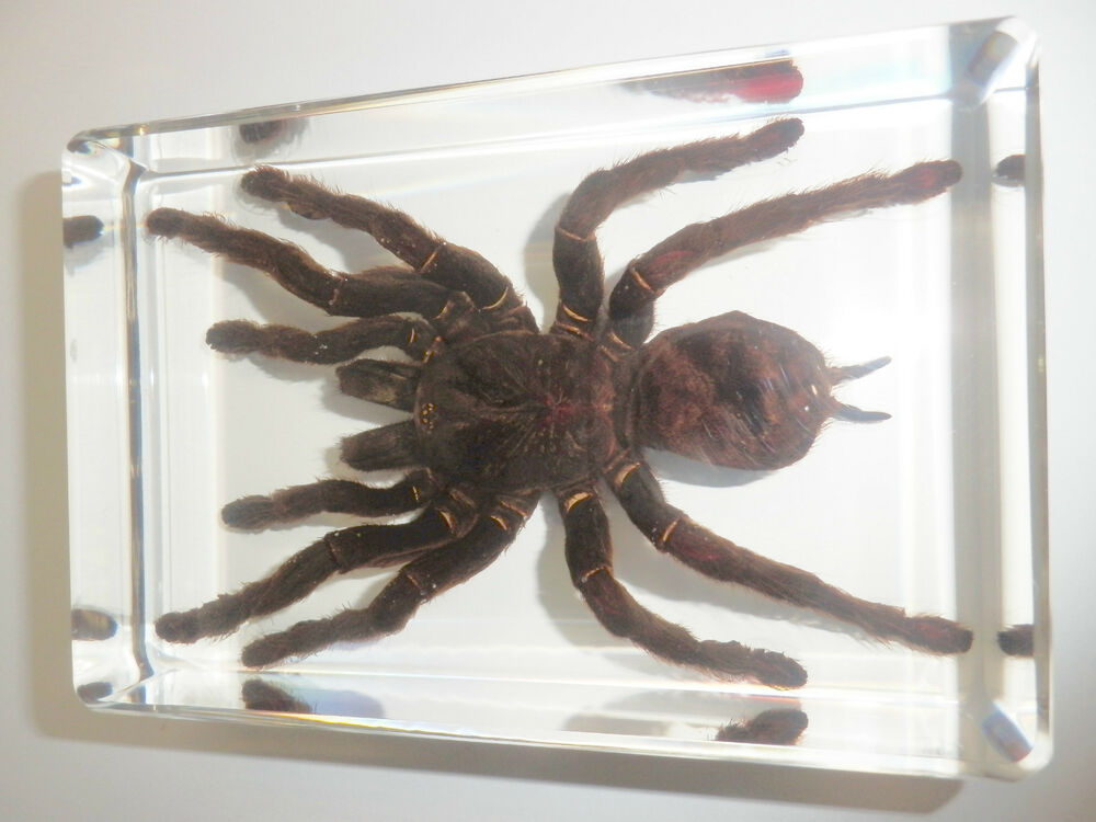 Giant Tarantula Spider Golden Earth Tiger Real Insect ...