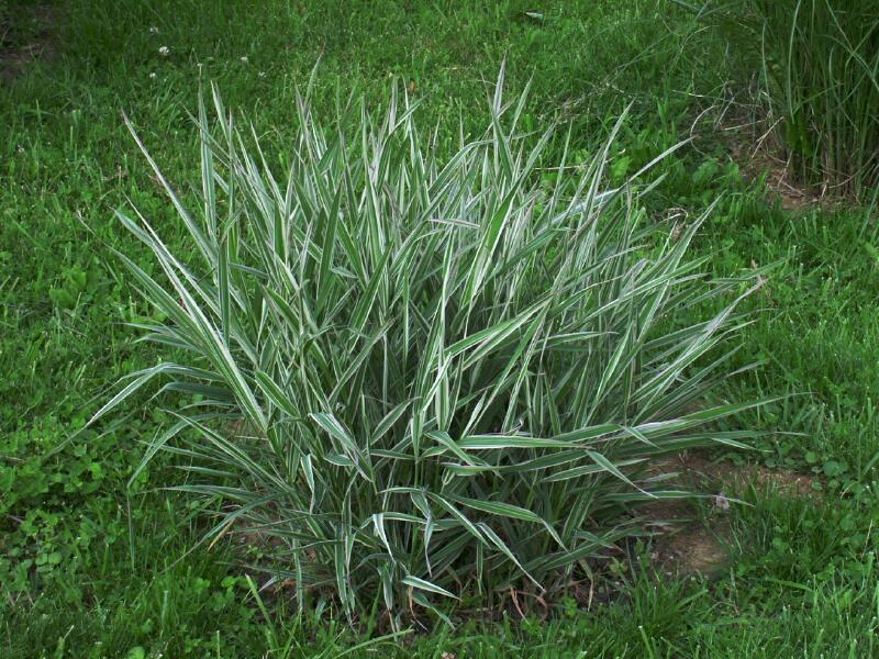 Ornamental reed canary grass 50g large bag seeds animal for Large ornamental grass plants