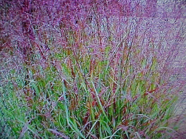 Prairie fire red switch grass textured plant look for all for Ornamental prairie grass