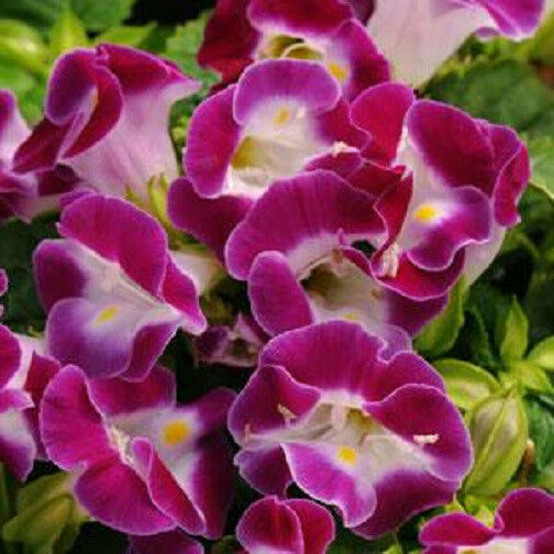 Torenia Seeds Kauai Magenta Seeds 50 Pelleted Seeds