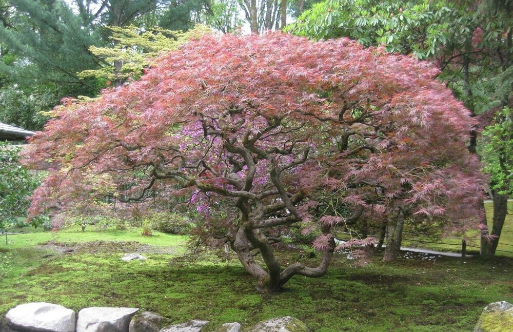 how to grow japanese maple from seed