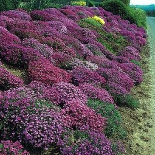 100 seeds rock cress cascading red purple mix aubrieta for Perennial ground cover plants for sun