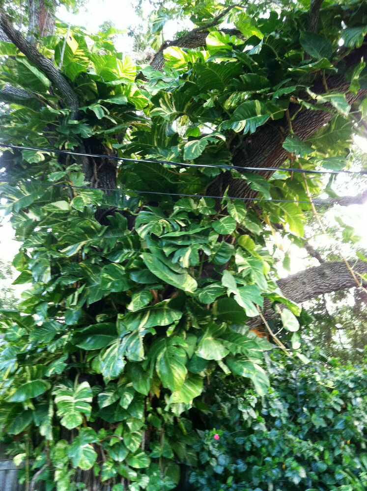 2 cuttings giant pothos philodendron tropical easy grow for Easy to grow outdoor plants