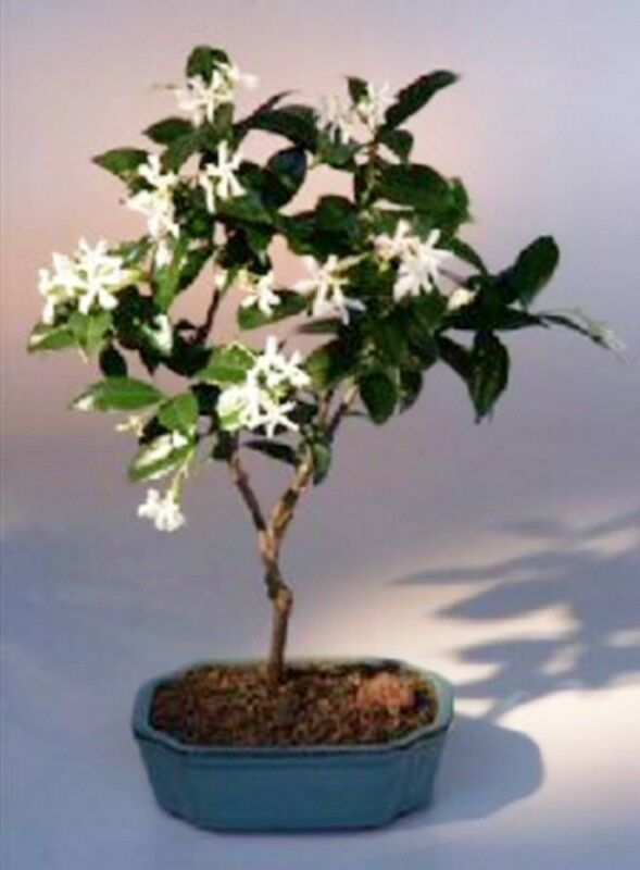 Flowering white jasmine indoor bonsai trachelospermum for Flowering plants for indoors