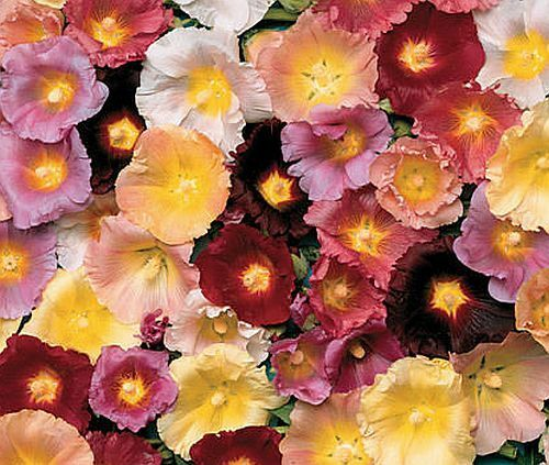 stockrose 20 samen alcea ficifolia 39 hollyhock 39 winterhart robust mehrj hrig ebay. Black Bedroom Furniture Sets. Home Design Ideas