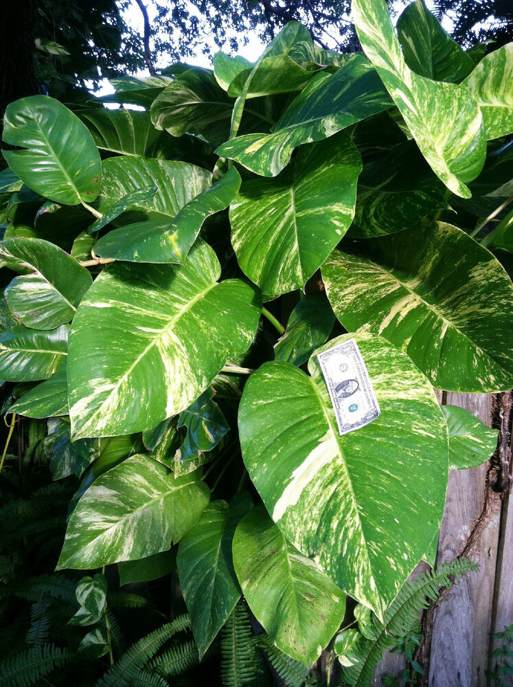 Buy 1 Get 1 Free Cutting Giant Pothos Philodendron