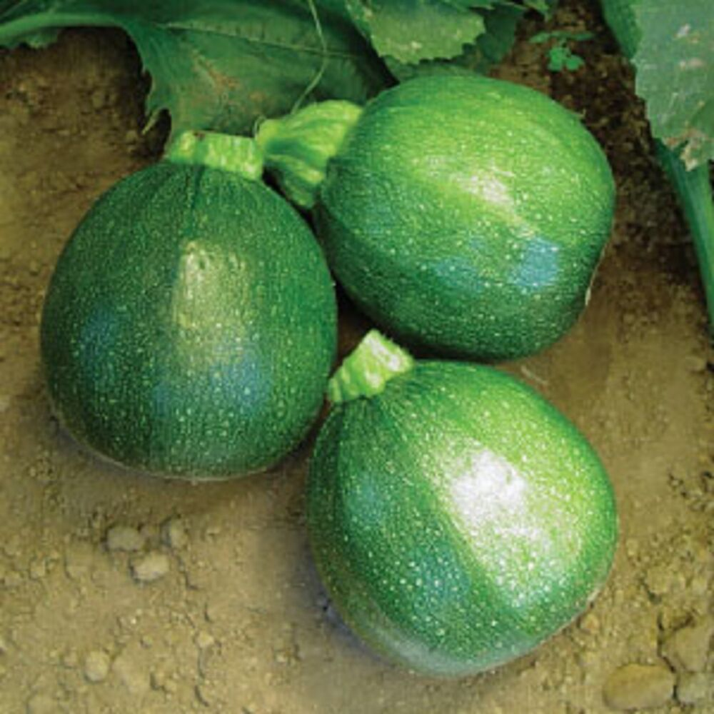 heirloom round zucchini summer squash eight ball 50 seeds 8 ball buttery flavor ebay. Black Bedroom Furniture Sets. Home Design Ideas