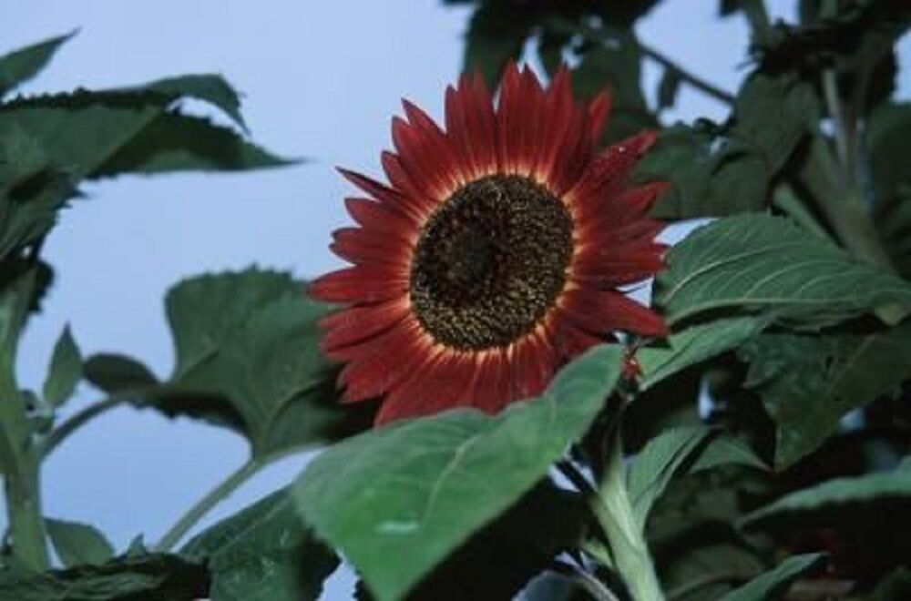 RED SUN Sunflower 100 SEEDS 10 or more buds per plant 6 Ft ...
