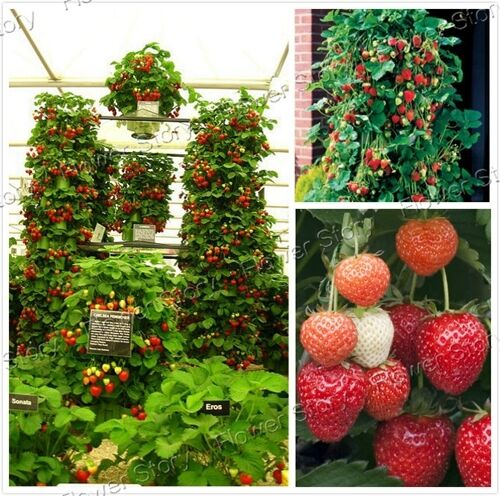 how to grow climbing strawberries from seed