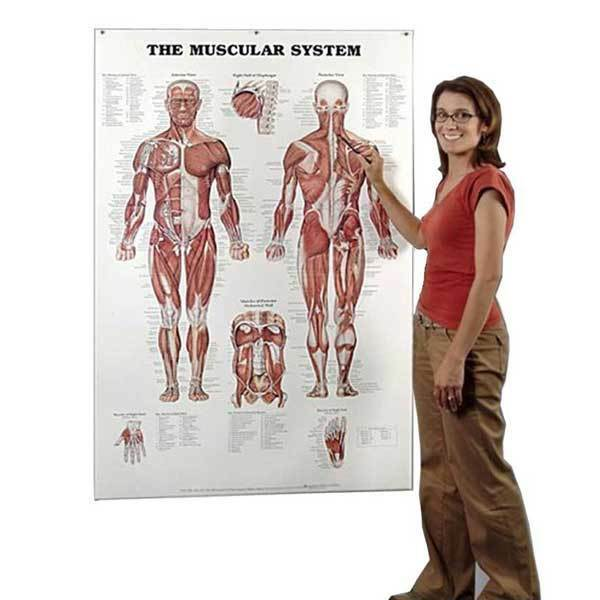 Details About Anatomical Chart Company The Muscular System Giant 42 X 62