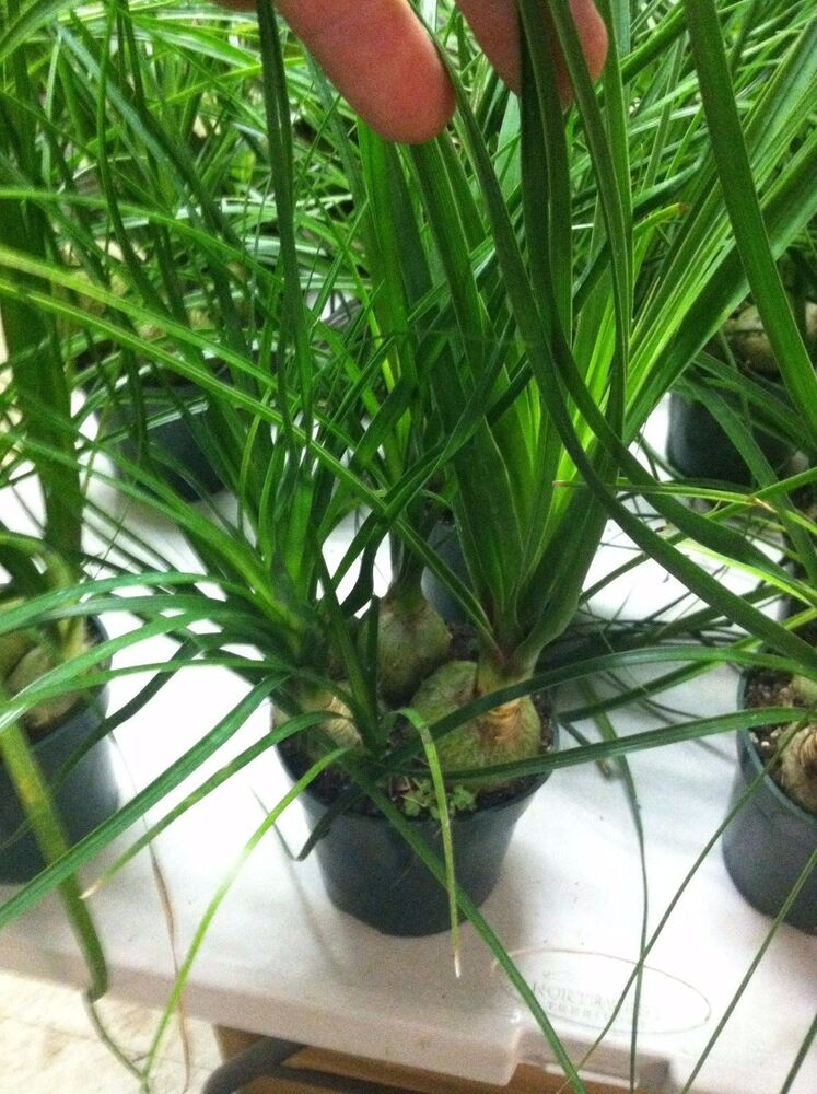 Pony tail palm 4 potted plant indoor plants large plant ebay - Large plants for indoors ...