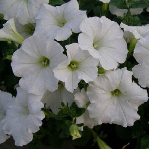 how to grow wave petunia seeds