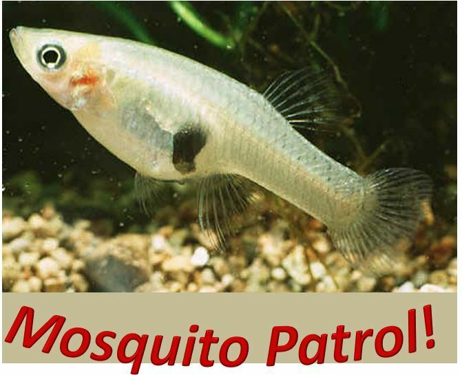 35 live mosquito fish koi pond aquarium feeder fish tank for Hardiest pond fish