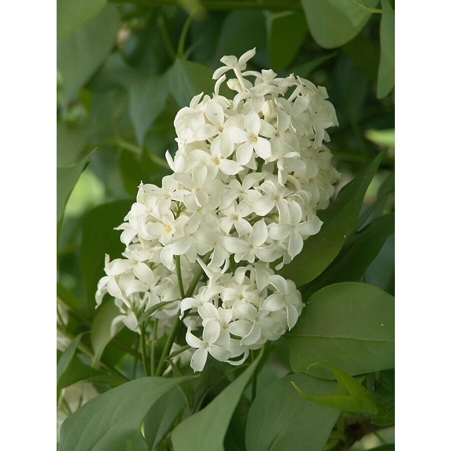 Angel White Lilac Pure White 5 Stems Branch Cutting