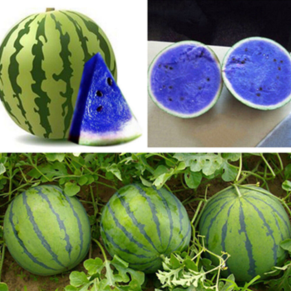 10X Blue Watermelon Melon Seed Vegetable Organic Home ...