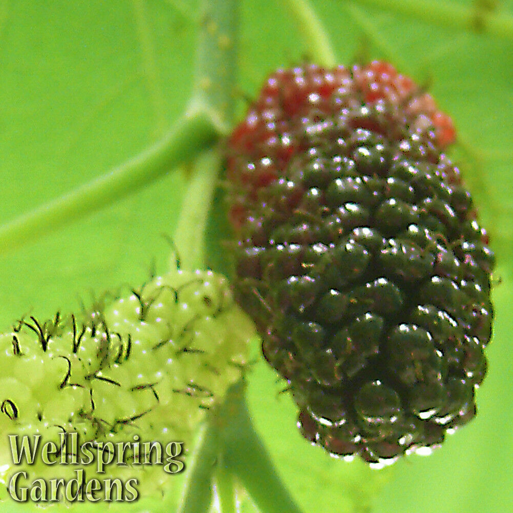 how to stop a mulberry tree from fruiting