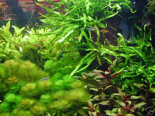 1 lot de 50 brins de plante  pour aquarium +