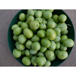 Olives, fresh off the tree, uncured, organically grown, 8 ibs. X Large Sevillano