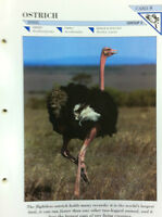 OSTRICH N.8-Group 2-Birds-Wildlife FACT FILE Card