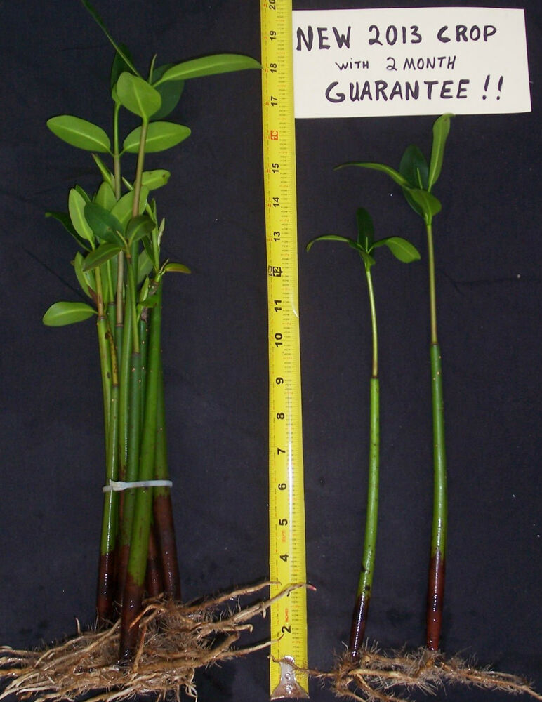... red mangroves 2 MONTH SURVIVAL GUARANTEE ! saltwater aquarium plants