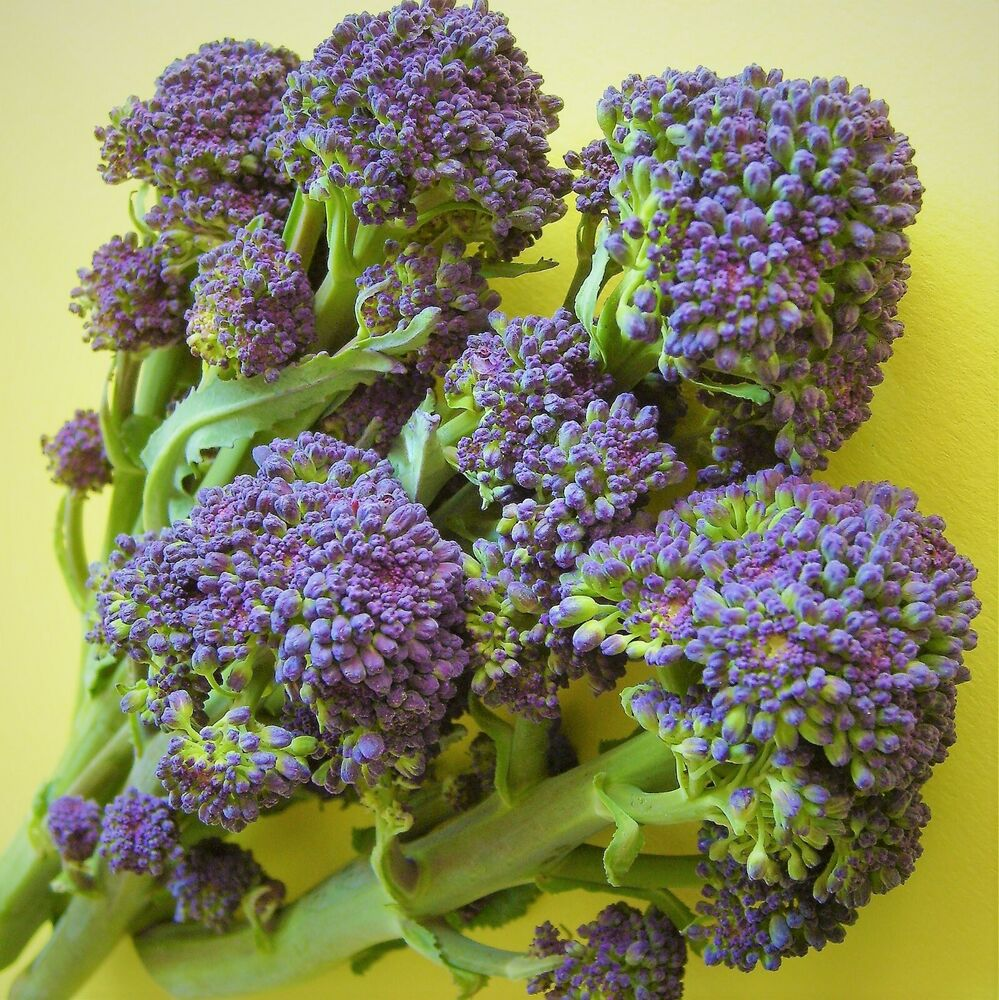 SPROUTING BROCCOLI - PURPLE EARLY - 400 Seeds [..crops February, March, April] | eBay