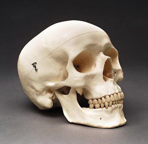 Human Adult Skull Anatomical Model Medical Quality Life