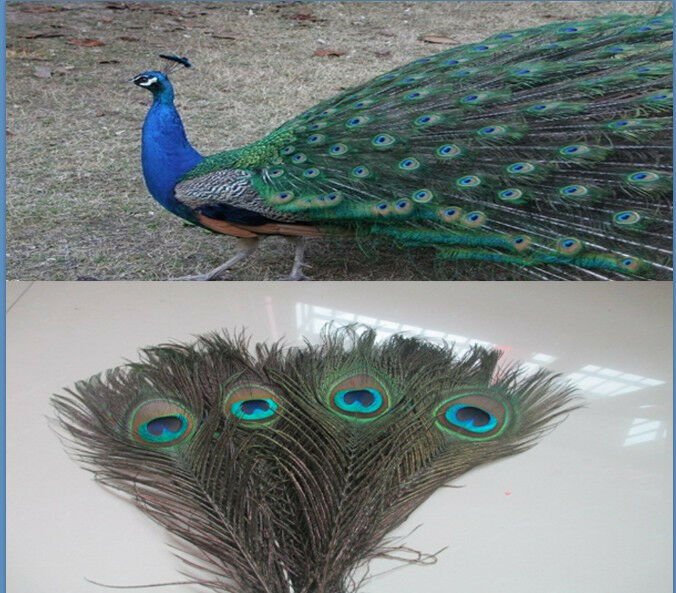 Wholesale beautiful peacock eye feathers 10 12 inches 25 for Where can i buy feathers for crafts