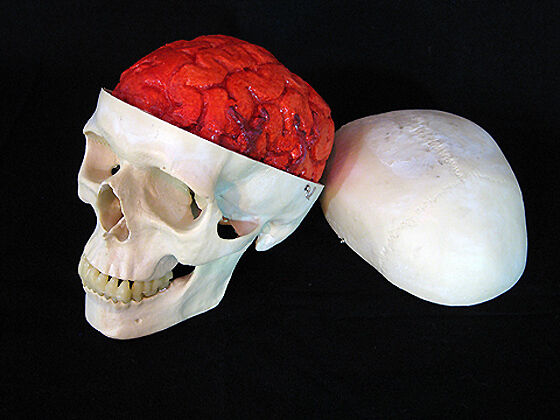 Harvey Skull with Bloody Brain, Halloween Prop, Human ...