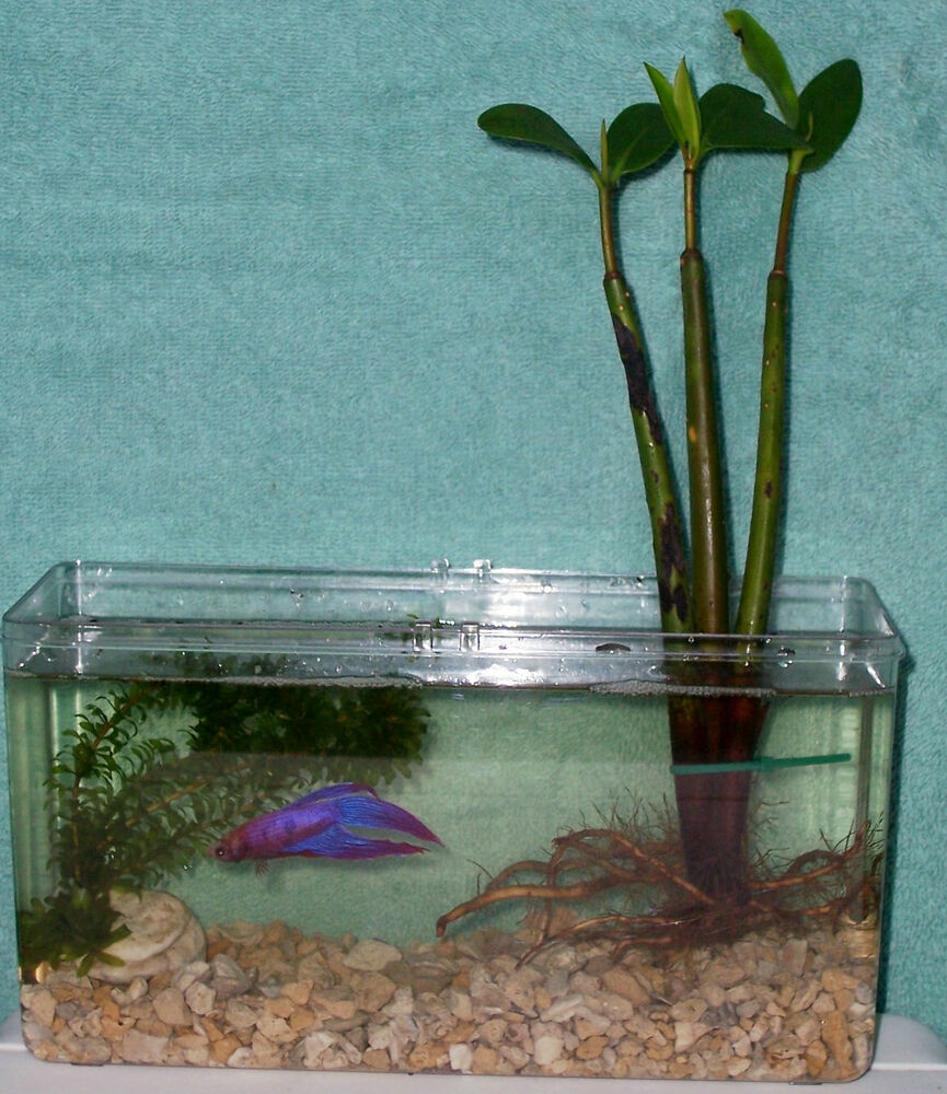 Live betta fish mangrove anacharis plants tank 2 month for Live fish tank