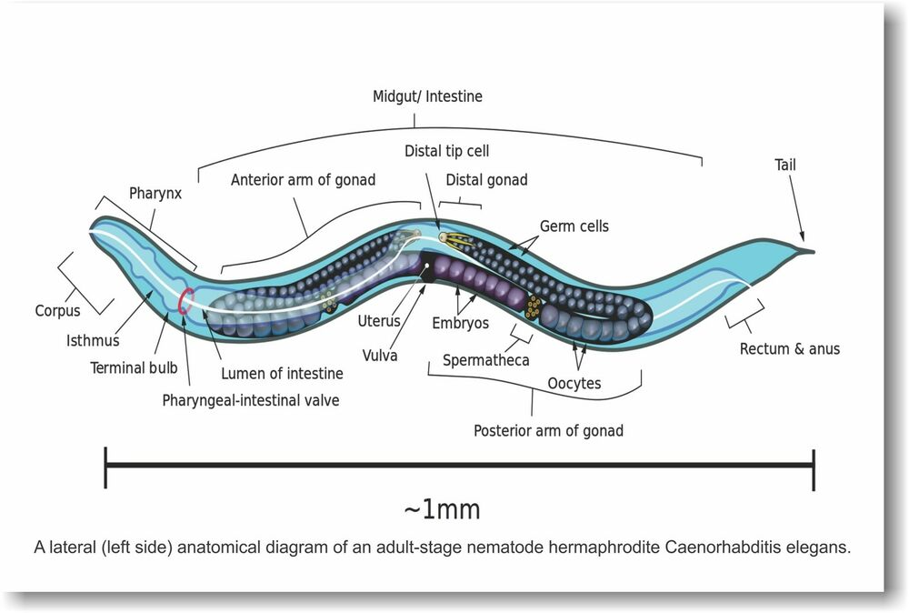 Anatomical Diagram Of An Adult-stage Nematode