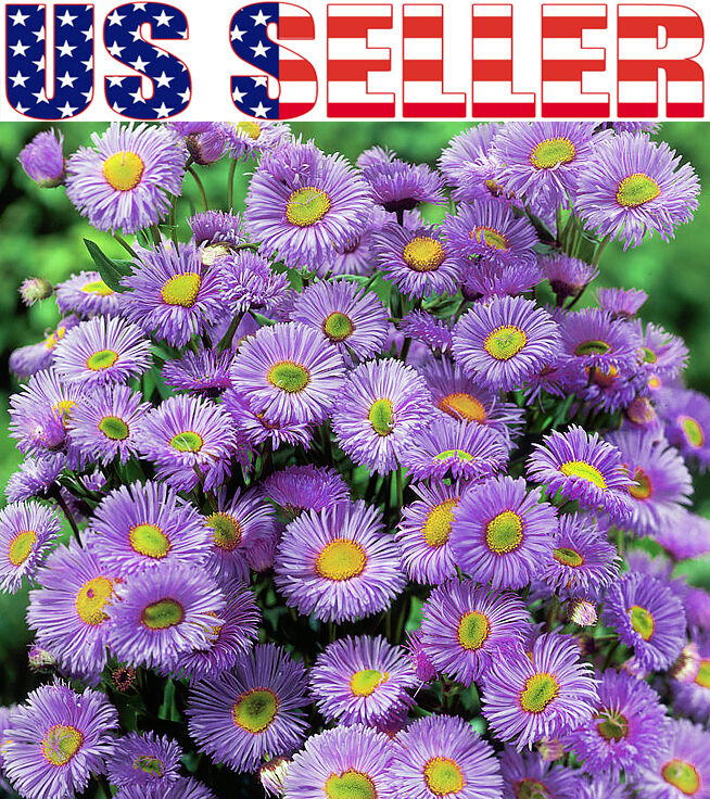 Purple Daisy Flower: 50+ Erigeron Pink Jewel Daisy Seeds Fleabane Flower Daisy