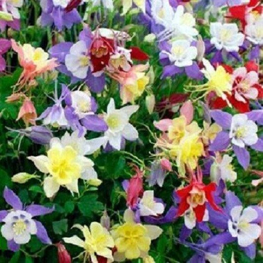Columbine Floral And Gifts: 100 Columbine Mix Caerulea Seeds Perennial Flower