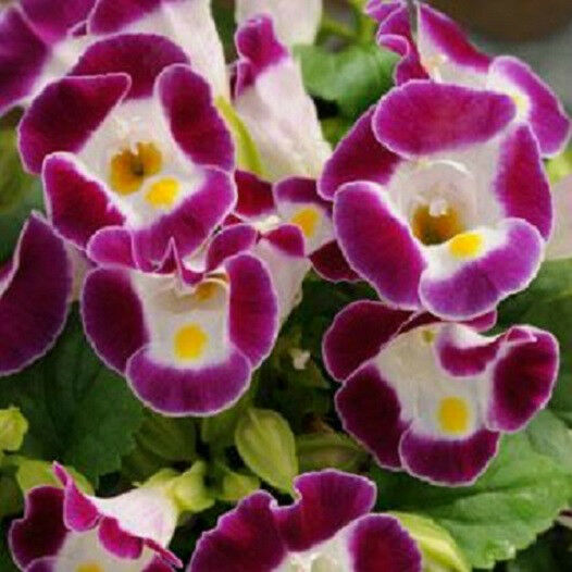 50 Torenia Seeds Kauai Burgundy Pelleted Seeds