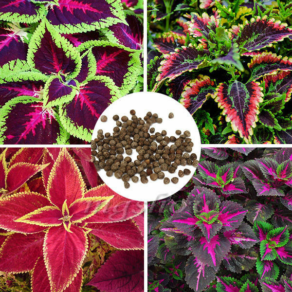 200pcs mix coleus blumei seeds home colorful flower leaves for Beautiful flowers to plant in your garden