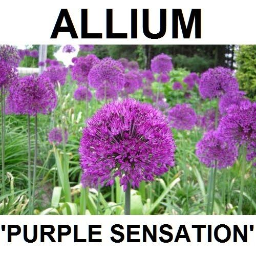 allium bulbs purple sensation plants grow 2 3 feet tall. Black Bedroom Furniture Sets. Home Design Ideas