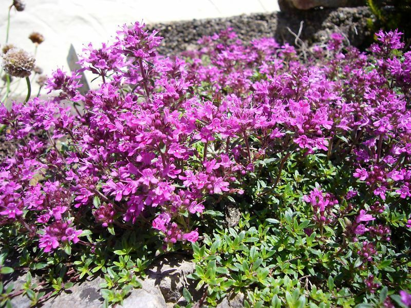 1,000 + Creeping Thyme Seeds Ground Cover PERENNIAL | eBay