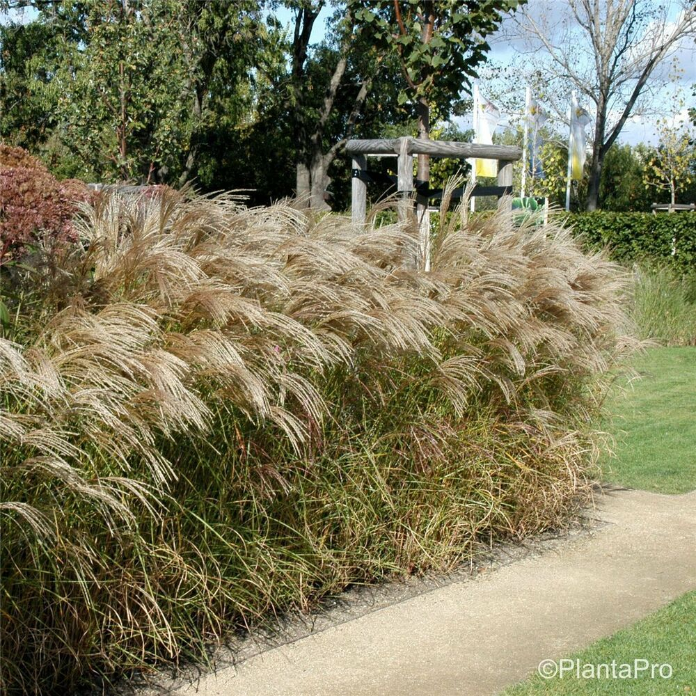 chinaschilf miscanthus sinensis 39 flamingo 39 hoher. Black Bedroom Furniture Sets. Home Design Ideas