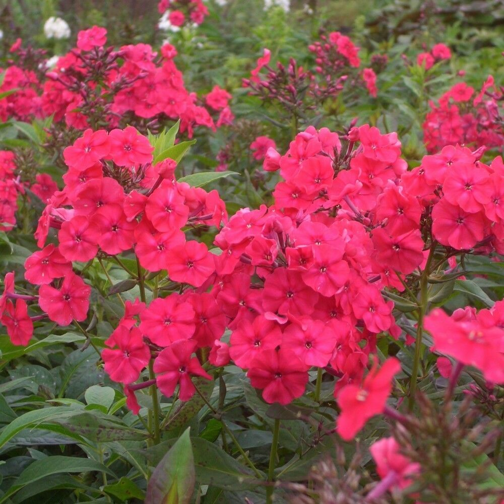 flammenblume phlox paniculata 39 red riding hood. Black Bedroom Furniture Sets. Home Design Ideas