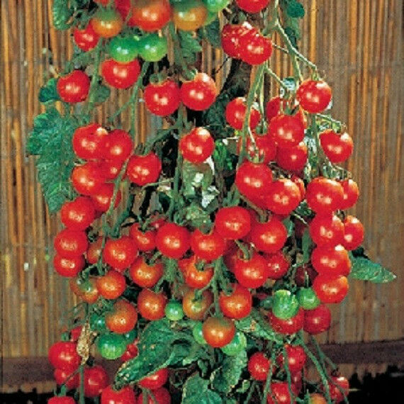 50 tomato seeds sweet million tomato seeds 65 days ebay. Black Bedroom Furniture Sets. Home Design Ideas