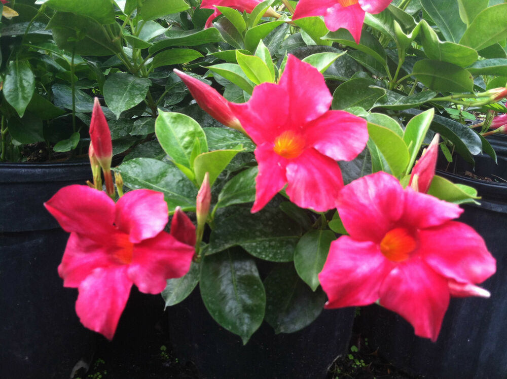dipladenia rio hot pink 3 plants 2 pots mandevilla. Black Bedroom Furniture Sets. Home Design Ideas