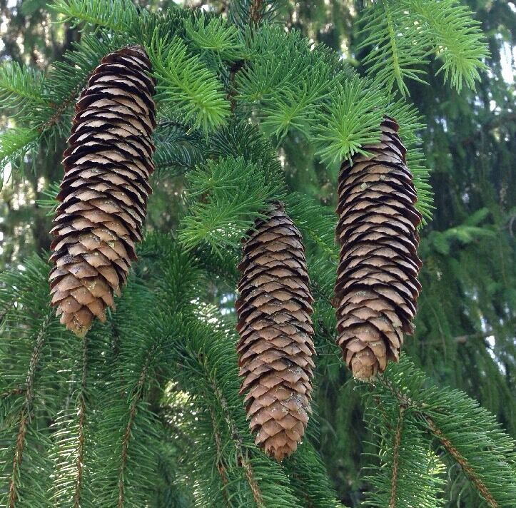long narrow 20 pine cones natural norway spruce crafts