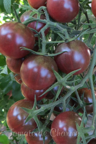 10 graines de tomate Cerise Chocolat -Chocolate Cherry heirloom tomato seeds bio