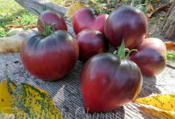 10 graines de tomate rare Sgt PEPPER'S attrayante antho heirloom tomato méth.bio