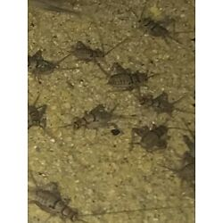 Kyпить Live Crickets Assorted Med, Large Mixed 250, 500, 1000 Shipped FedEx  на еВаy.соm