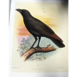 Kyпить  Frederick Frohawk Hawaiian Black Crow Native  Bird   13x10 Print на еВаy.соm