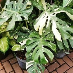 Kyпить Monstera Variegated Palm Tree Seeds Mixed Color Turtle Leaves Charming Plants на еВаy.соm