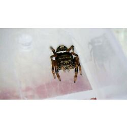 Phidippus Audax/Bold Jumping Spider Slings