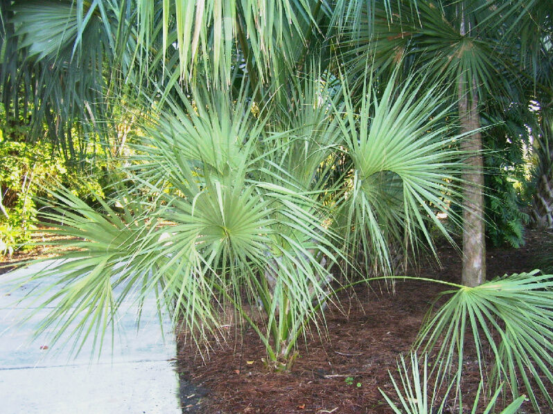 RARE Sabal miamiensis Ultra Cold HardyExtinct Palm Tree | eBay