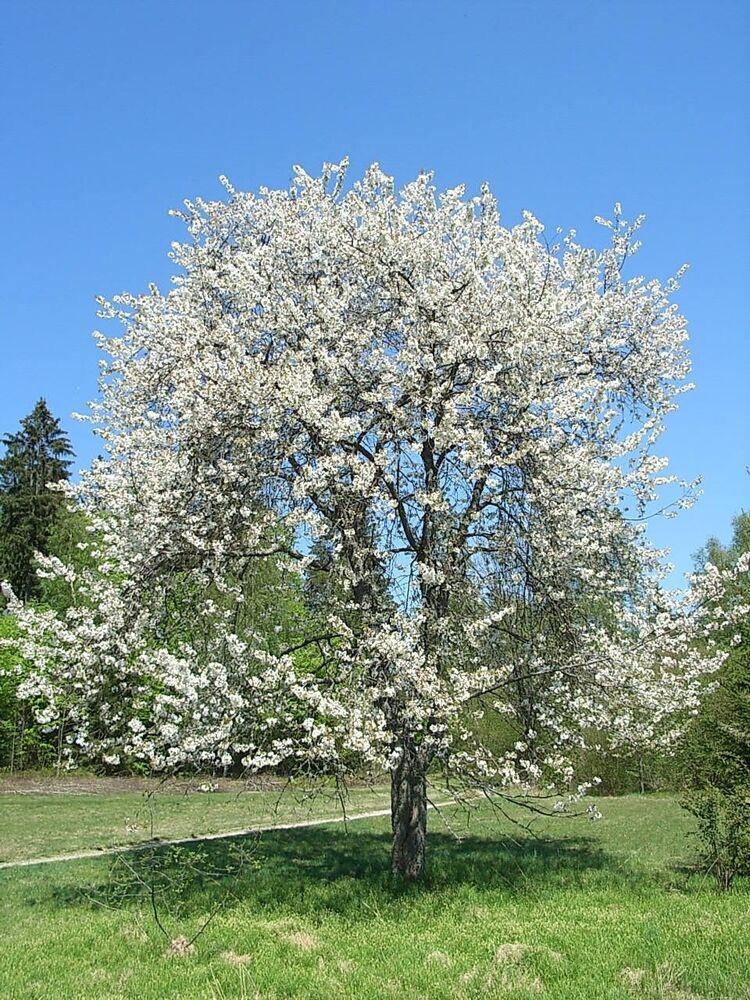 cherry tree single women over 50 Bing cherry tree growing zone: 4 a mature weeping willow will grow as much as ten feet in a single some beauty large trees give you quick privacy, shade.