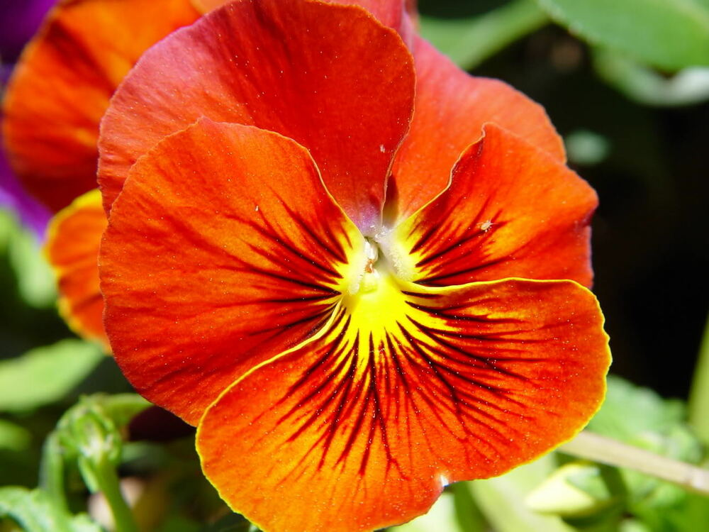 50 RED & YELLOW PANSY VIOLA Violet Flower Seeds + Gift ...